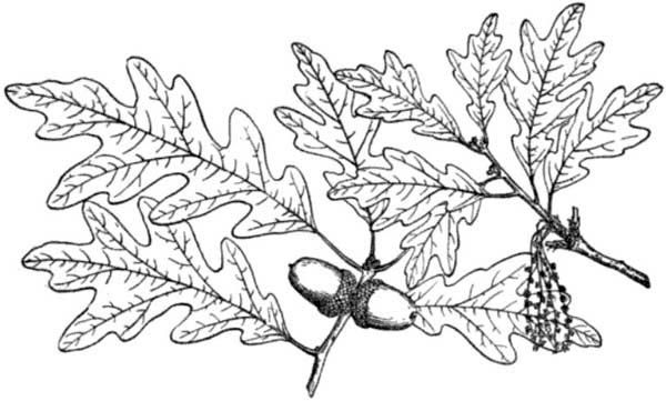 Oak Tree, : White Oak Tree Leaves Coloring Page