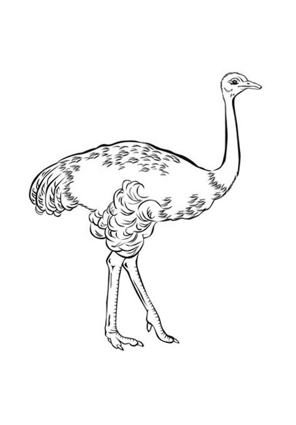Ostrich Drawing For Kids Kids  listed on Ostrich