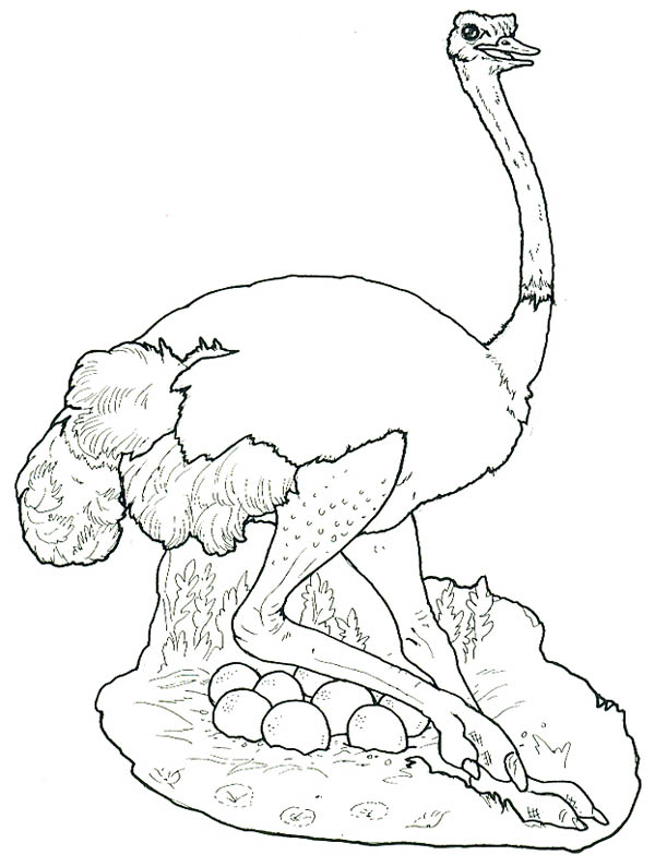 Ostrich Hide Her Eggs Coloring Page Color Luna
