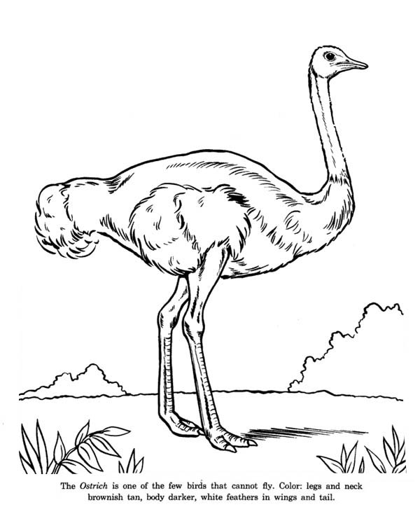 Ostrich, : Ostrich is Cannot Fly Bird Coloring Page