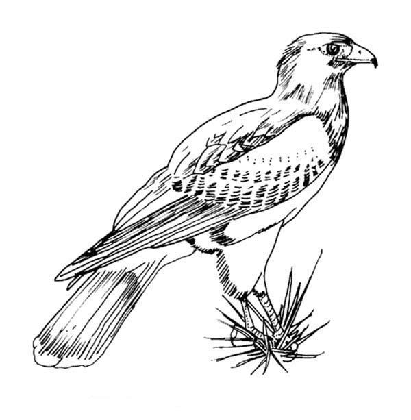 Birds, : Awesome Picture of Hawk Bird Coloring Page