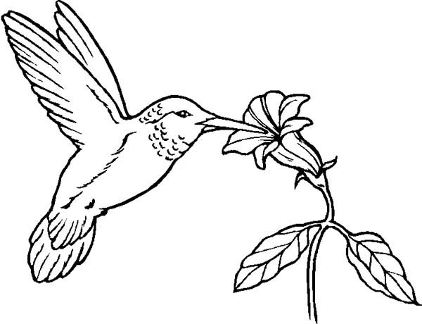 Birds, : Humming Bird Eat from Flower Coloring Page