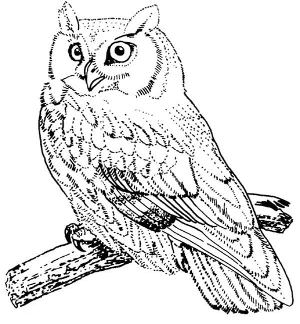 Birds, : Screech Owl Bird Coloring Page