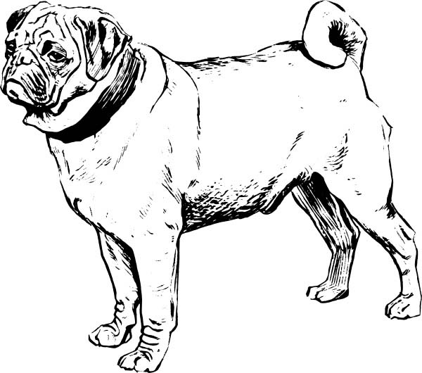 Pug, : Awesome Pug Drawing Coloring Page