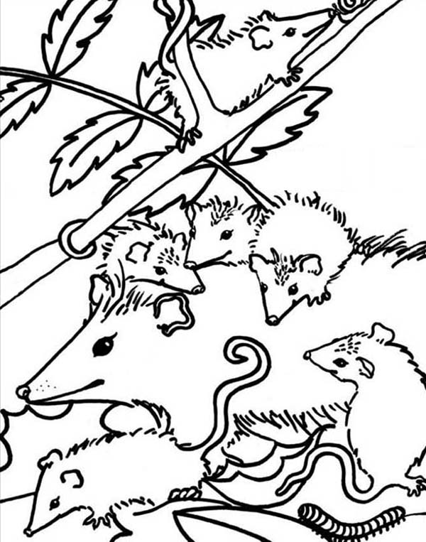 Possum, : Big Family of Possum Coloring Page