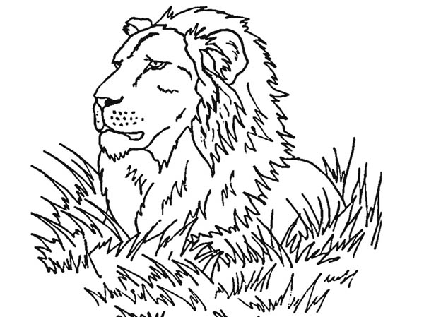 Lion, : Lion Observe His Prey Coloring Page