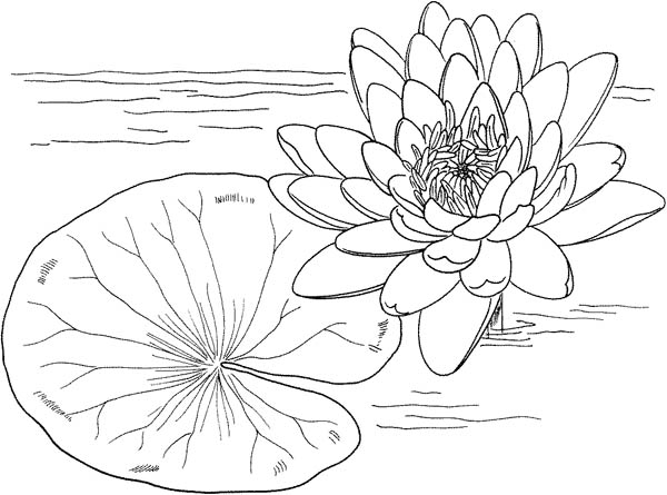 Lily Pad, : Nymphaea Mexicana and Lily Pad Coloring Page