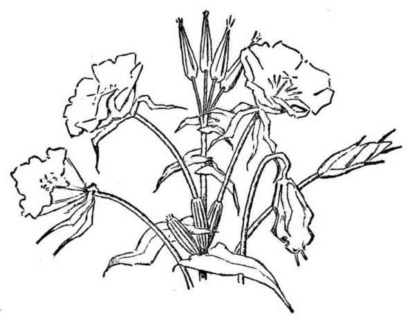 Spring Flower, : Picture of Spring Flower Coloring Page
