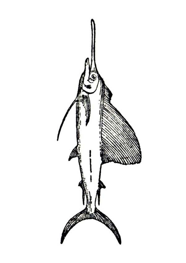 Swordfish, : Popular Sport Fish Swordfish Coloring Page