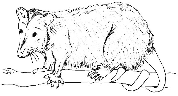 Possum, : Possum Image Coloring Page