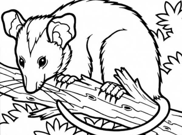 Possum, : Possum Sitting on Tree Branch Coloring Page
