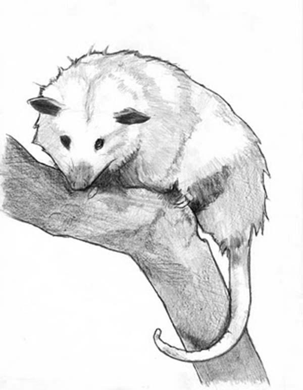 Possum, : Possum Sketch Coloring Page