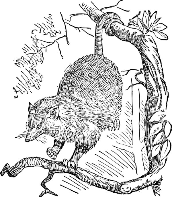 Possum, : Sketch of a Possum Coloring Page