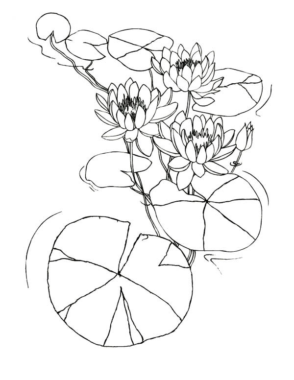 Lily Pad, : Water Lily Flowers Among Lily Pad Coloring Page