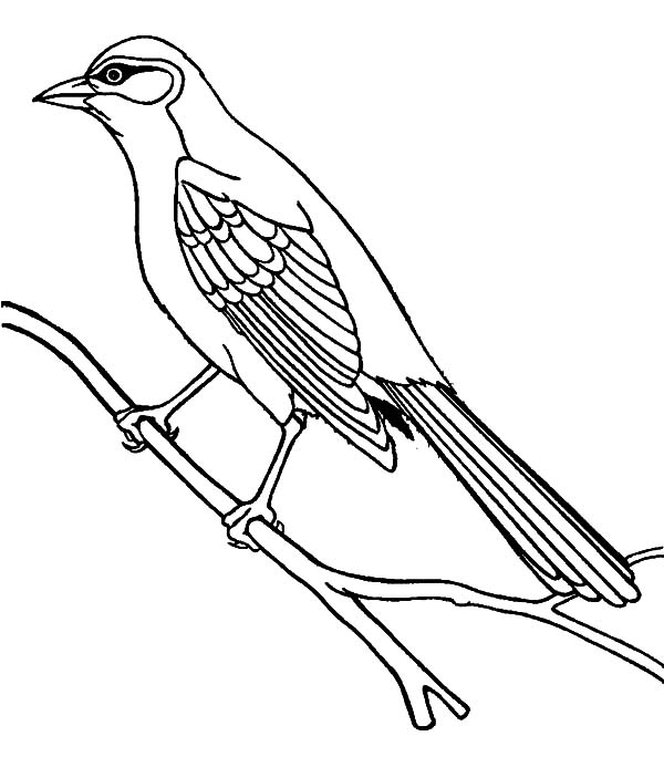 Bahama Mockingbird Coloring Pages