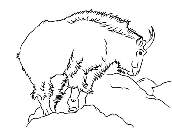 mountain goat outline coloring pages color luna