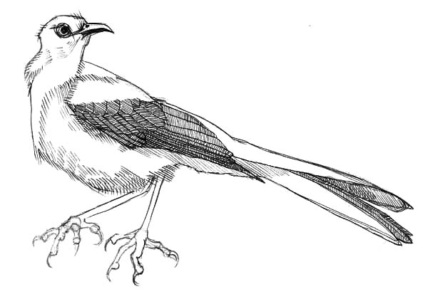 Mockingbird, Beautiful Mockingbird Female Coloring Pages: Beautiful Mockingbird Female Coloring Pages