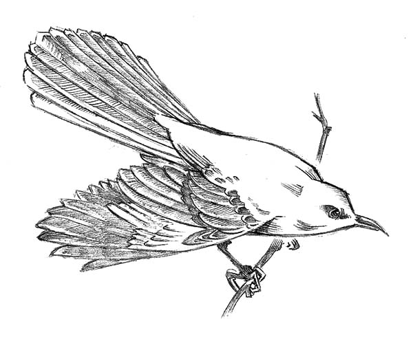 Cautious Mockingbird Coloring Pages