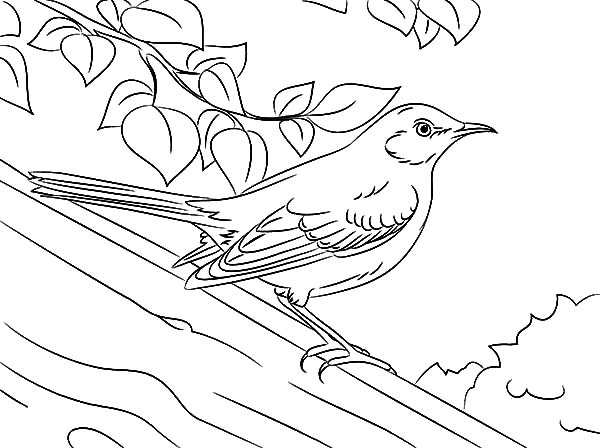 Drawing Northern Mockingbird Coloring Pages