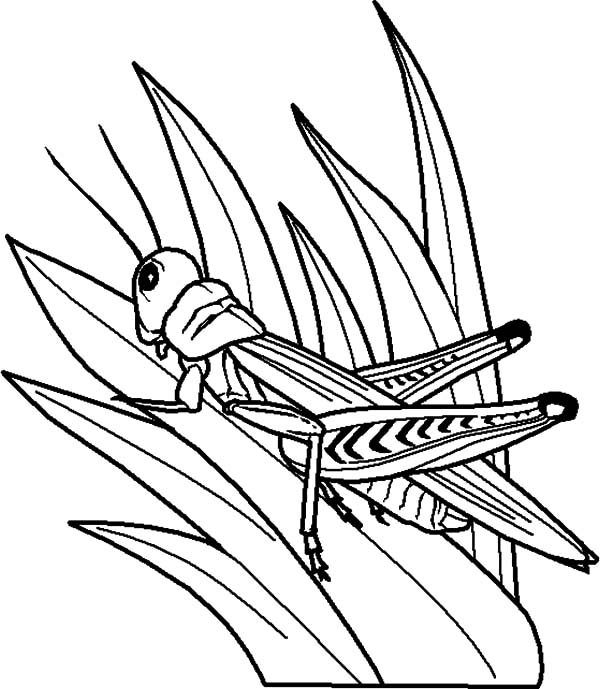 Grass, Grasshopper Perch On Grass Coloring Pages: Grasshopper Perch on Grass Coloring Pages