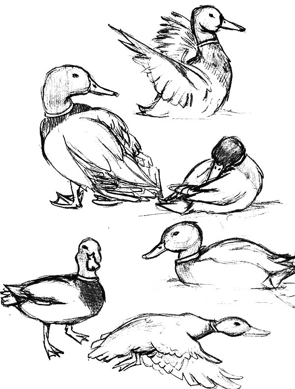 How to draw mallard duck coloring pages color luna for Mallard coloring page