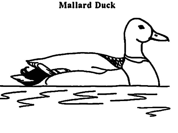 mallard ducks coloring pages - photo#23