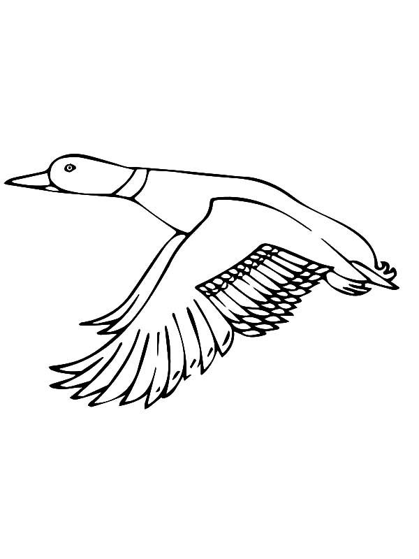 Mallard Flying Duck Royalty Free Stock Vector Art
