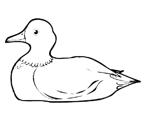 mallard ducks coloring pages - photo#14