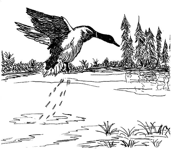 mallard ducks coloring pages - photo#40
