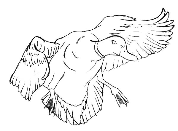Mallard duck coloring pages for Mallard coloring page