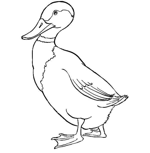 Mallard duck flapping her wings coloring pages color luna for Mallard coloring page