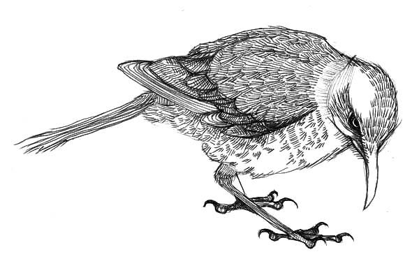 Mockingbird, Mockingbird Cleaning His Leg Coloring Pages: Mockingbird Cleaning His Leg Coloring Pages