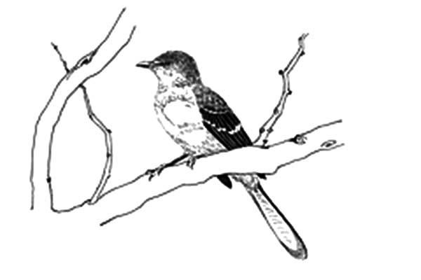 Mockingbird, Mockingbird Coloring Pages: Mockingbird Coloring Pages