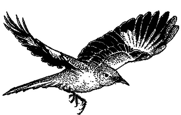 Mockingbird, Mockingbird Flying Coloring Pages: Mockingbird Flying Coloring Pages