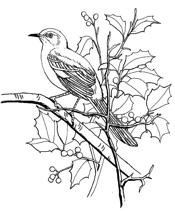 Northern Mockingbird Coloring Pages Drawing Color