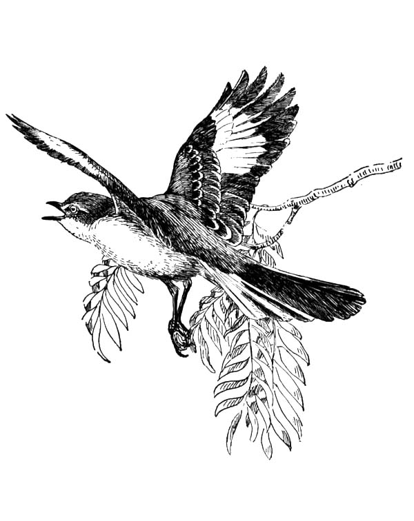 Mockingbird, Mockingbird Spread His Wing Coloring Pages: Mockingbird Spread His Wing Coloring Pages
