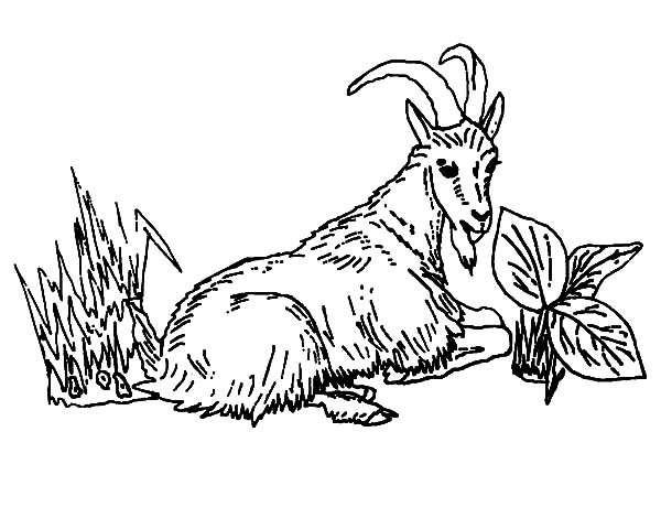 Mountain Goat, Mountain Goat Eating Grass Coloring Pages: Mountain Goat Eating Grass Coloring Pages