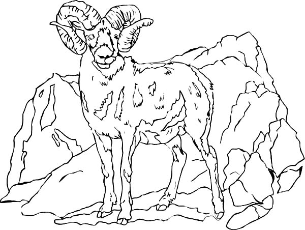 Mountain Goat, Mountain Goat Standing Tall Coloring Pages: Mountain Goat Standing Tall Coloring Pages