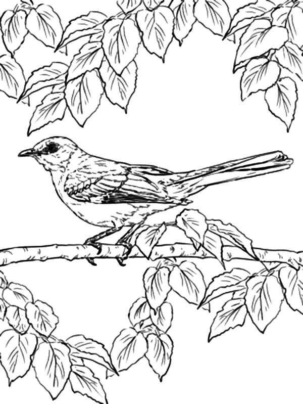 Mockingbird, Northern Mockingbird Lurking Under Leaves Coloring Pages: Northern Mockingbird Lurking Under Leaves Coloring Pages