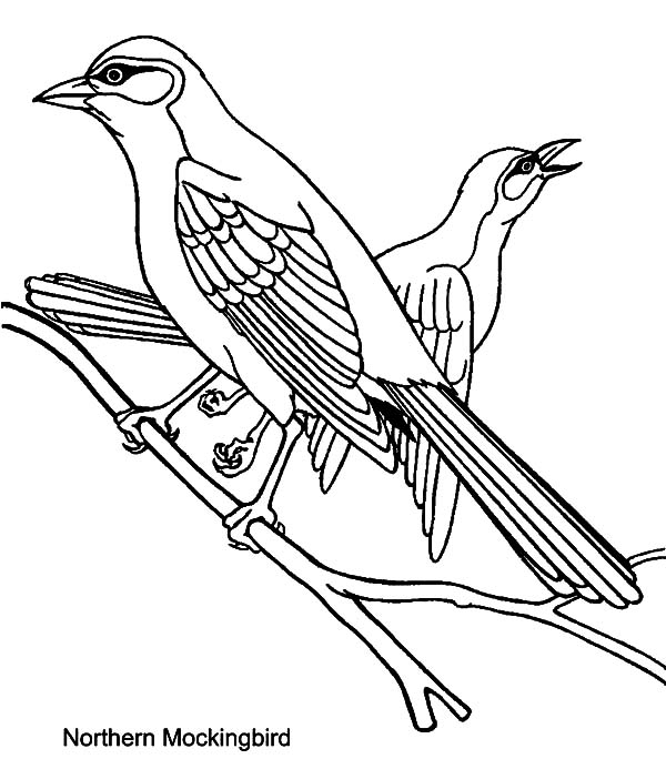 Mockingbird, Northern Mockingbird Mating Coloring Pages: Northern Mockingbird Mating Coloring Pages