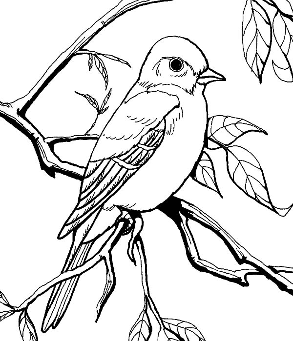Patagonian Mockingbird Coloring Pages