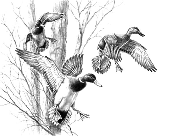 ducks unlimited coloring pages - photo#26