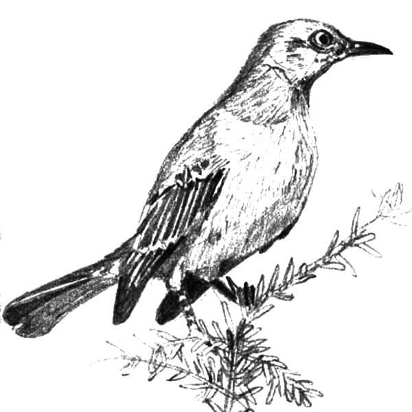 Mockingbird, Picture Of Mockingbird Coloring Pages: Picture of Mockingbird Coloring Pages