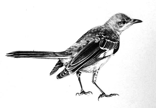 Mockingbird, Realistic Mockingbird Drawing Coloring Pages: Realistic Mockingbird Drawing Coloring Pages