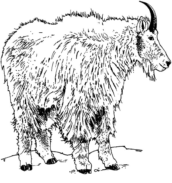 Mountain Goat, Rocky Mountain Goat Coloring Pages: Rocky Mountain Goat Coloring Pages