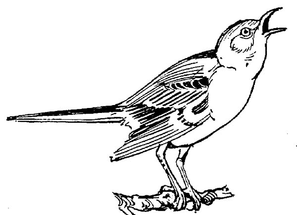 Singing Mockingbird Coloring Pages