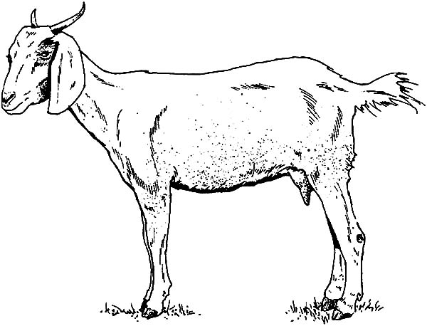 thin mountain goat coloring pages