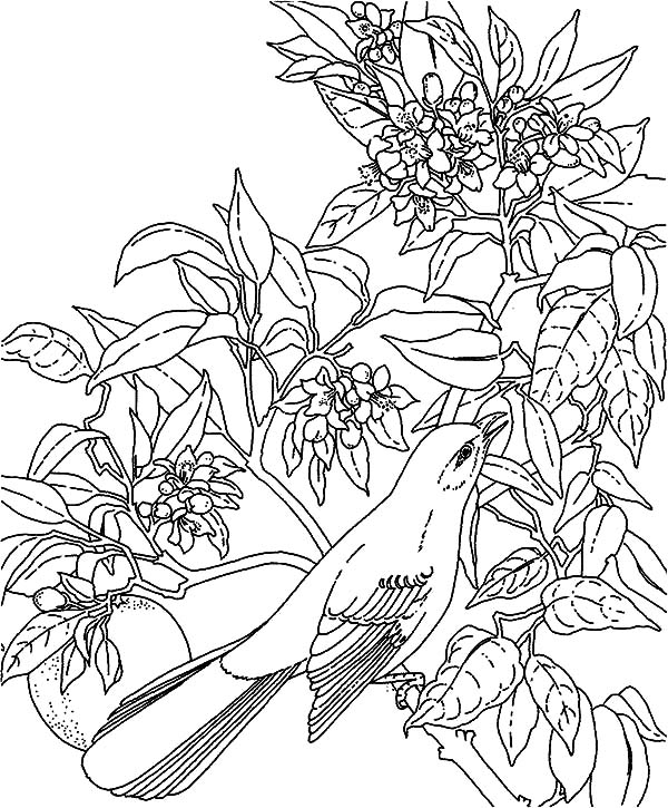 Mockingbird, Tropical Mockingbird Coloring Pages: Tropical Mockingbird Coloring Pages
