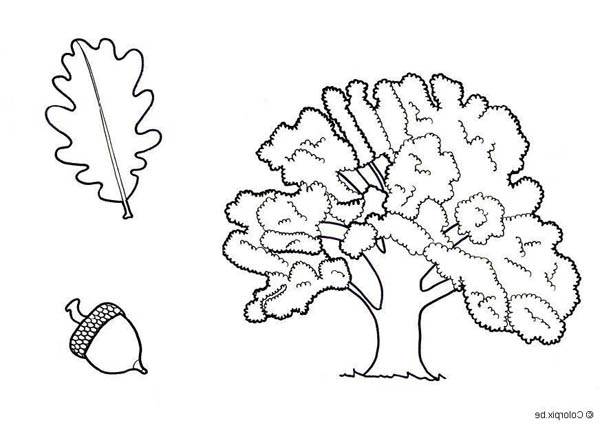Drawing Of An Oak Tree Leaf And Fruit Coloring Page