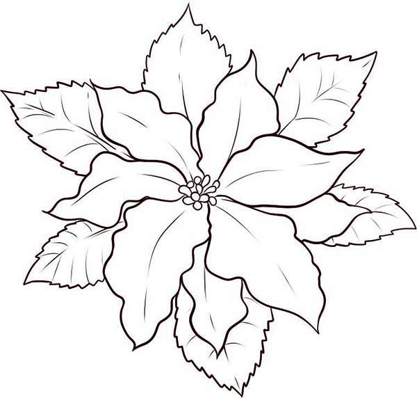 This is a photo of Remarkable Poinsetta Coloring Page
